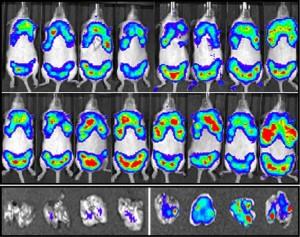 IVIS imaging for JCI (12-090)